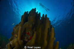 3 meter high pilar coral, Gardens of the queen, cuba, nik... by Noel Lopez